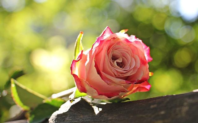 rose-1868601_640
