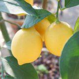 レモンのもたらす効果。疲労回復や食欲コントロール効果も!?