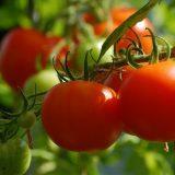 一人暮らし 家庭菜園 簡単
